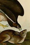 Audubon Volume 1 - Wild Turkey