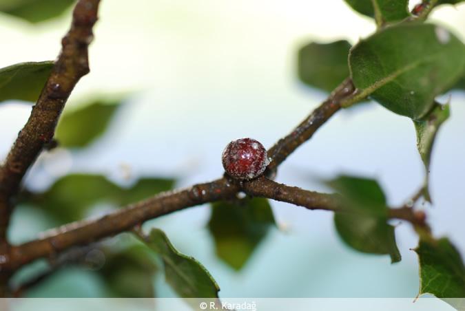 Kermes on a Tree
