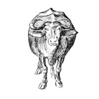 Cattle Drawing from Behind the Bungalow