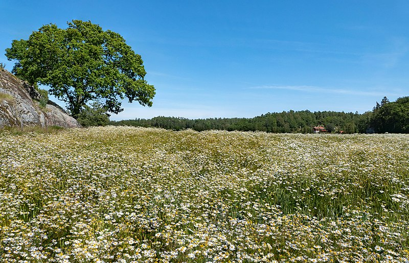 A tree and a wheat field in Röe, Sweden. The wheat field is filled with pretty white flowers.
