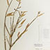 Photo of a specimen from the herbarium collection