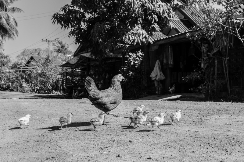 black and white photo of a chicken and her chicks crossing a dirt road