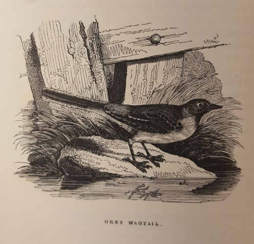 Black and white illustration of grey wagtail (bird)