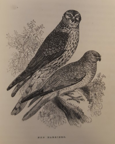 Black and white illustration of Hen Harriers (birds of prey)