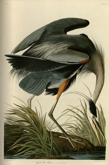 image of Audubon's Great Blue Heron