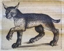 Engraving depicting a Lynx (pag. 36), from our copy of Persio tradotto in verso sciolto e dichiarato da Francesco Stelluti. Roma: Giacomo Mascardi, 1630.