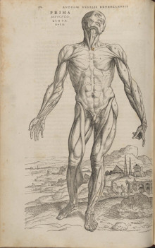 "Copper-plate engraving of a ""muscle man"" from Andreas Vesalius (1514-1564). De humani corporis fabrica libri septem (Basel: Johannes Oporinus, 1543)."