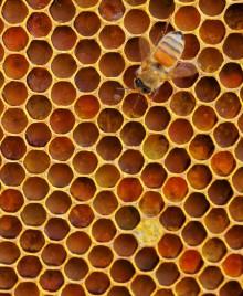 Honeybee on honeycomb