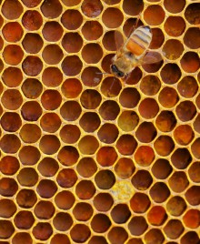 Honeybee on honeycomb