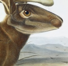 Detail of Audubon's painting of a Jackalope