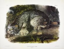 Lynx Plate from Audubon's Viviparous Quadrupeds