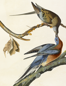 Illustration of a male and female passenger pigeon beak to beak on branches