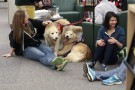 Students petting two golden retrievers