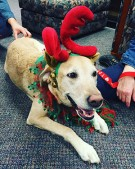 photo of a Golden Retriever therapy dog wearing red plush reindeer antlers