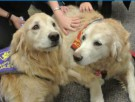 photo of two golden retrievers