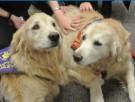 photo of two golden retrievers