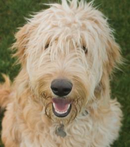 closeup of a furry, smiling dog