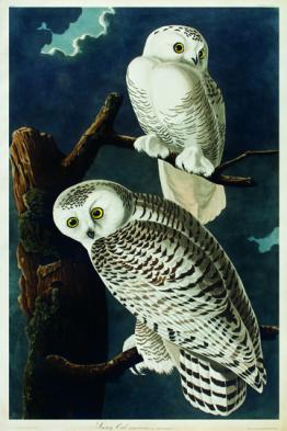 Image of Snowy Owls from Audubon's The Birds of America